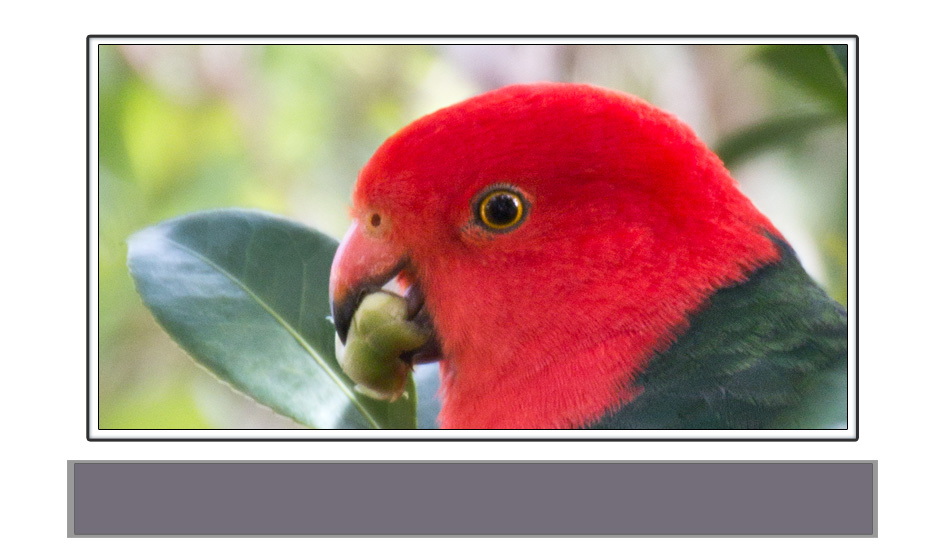 canvas-print-king-parrot